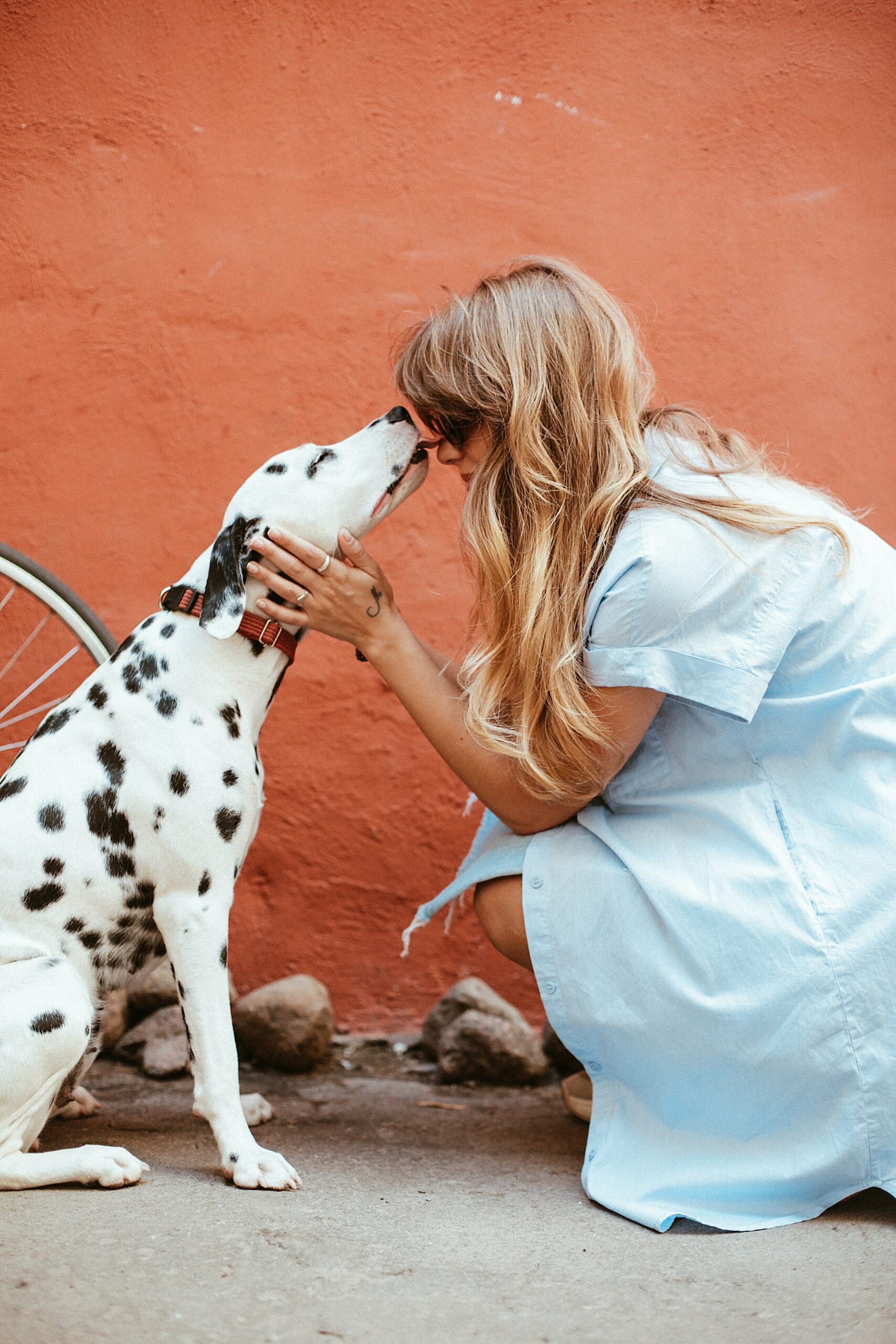 black and white dalmatian licking face of woman