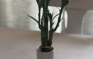 lucky_bamboo